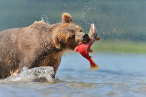 bear-eats-fish