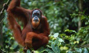 old-orangutan